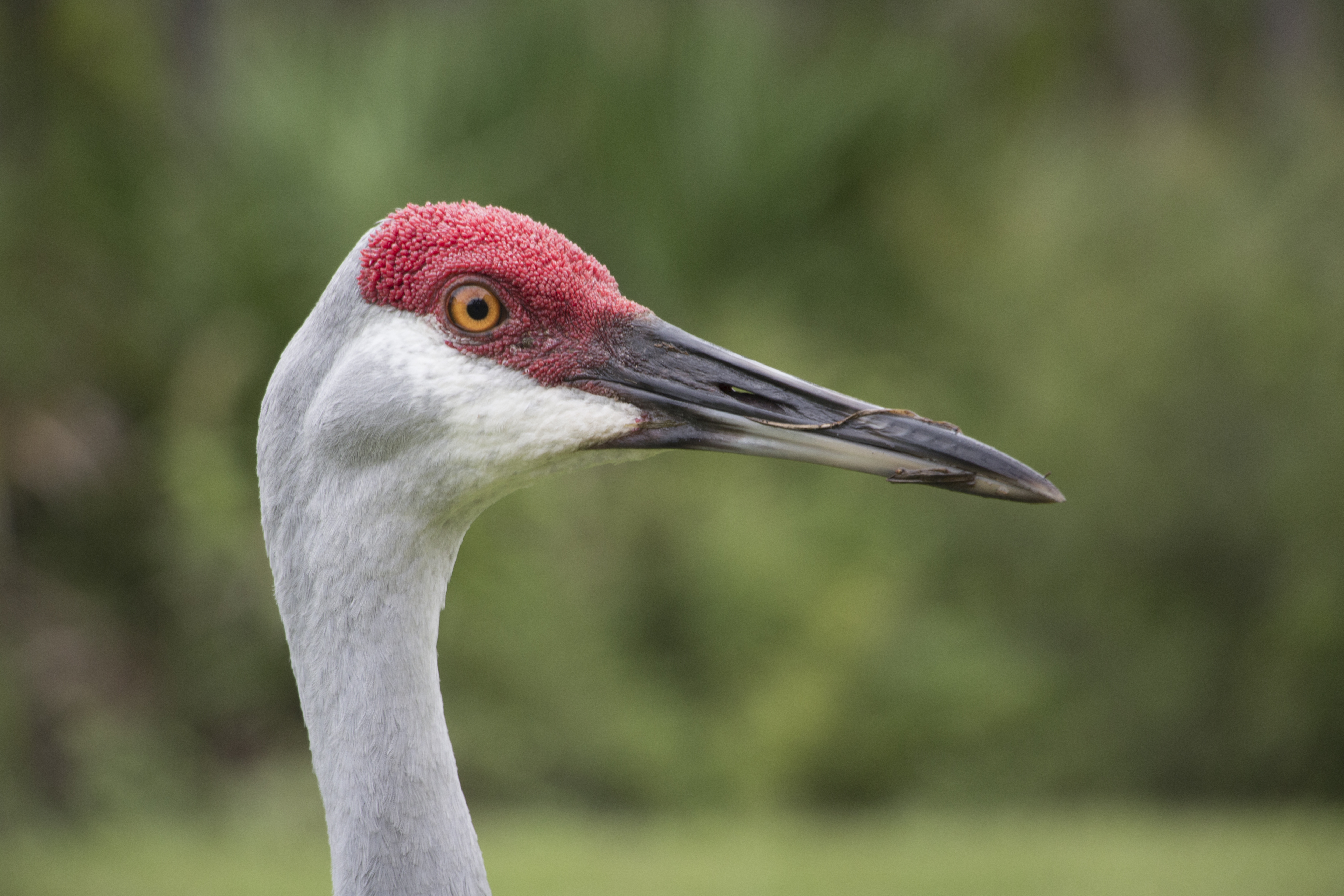 My Friend – Florida Sandhill Crane